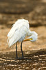 Cattle Egret<br /> (Bubulcus ibis)<br /> <br /> You may purchase a print or a digital download. If purchasing a digital download please look at the licensing agreement terms for personal or commercial use.