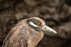 Yellow-crowned night-Heron<br /> (Nyctanassa violacea)<br /> <br /> You may purchase a print or a digital download. If purchasing a digital download please look at the licensing agreement terms for personal or commercial use.