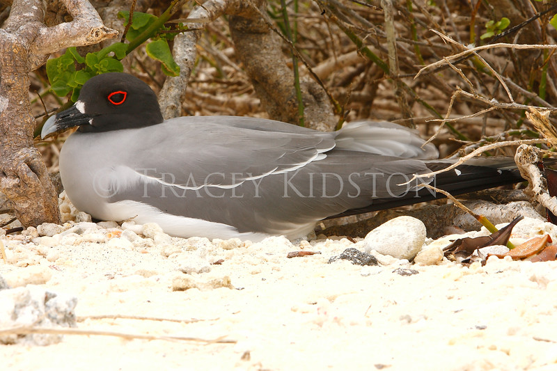 Lava Gull<br /> (Leucophaeus fuliginosus)<br /> <br /> You may purchase a print or a digital download. If purchasing a digital download please look at the licensing agreement terms for personal or commercial use.
