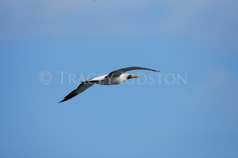 Nazca Booby<br /> (Sula granti)<br /> <br /> You may purchase a print or a digital download. If purchasing a digital download please look at the licensing agreement terms for personal or commercial use.