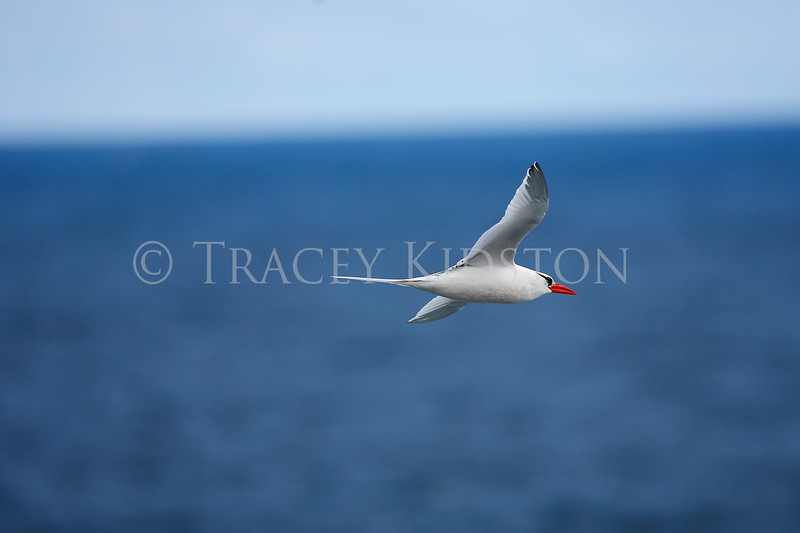 Red-billed Tropicbird<br /> (Phaethon aethereus)<br /> <br /> You may purchase a print or a digital download. If purchasing a digital download please look at the licensing agreement terms for personal or commercial use.