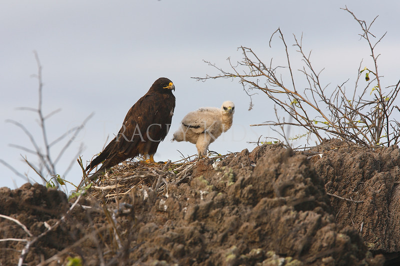 Galapagos Hawk<br /> (Buteo galapagoensis)<br /> <br /> You may purchase a print or a digital download. If purchasing a digital download please look at the licensing agreement terms for personal or commercial use.
