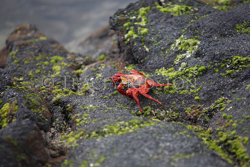 Sally Lightfoot Crab<br /> (Grapsus grapsus)