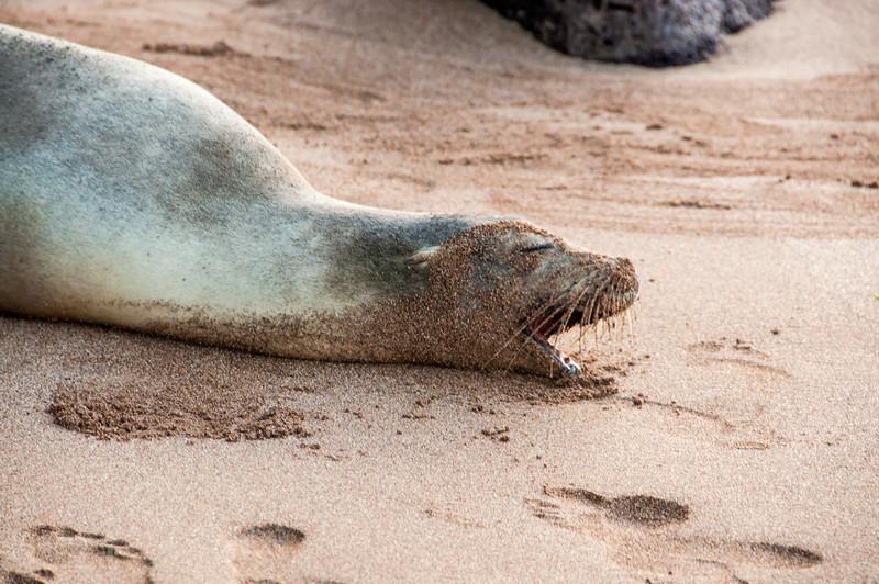 Bartolome Island - Sea Lion
