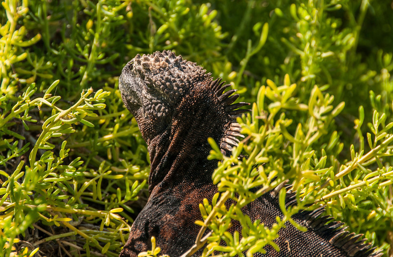 Santa Cruz, Dragon Hill - Marine Iguana