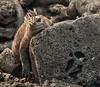 Fernandina, Espinoza Point - Marine iguana sleeping on a rock