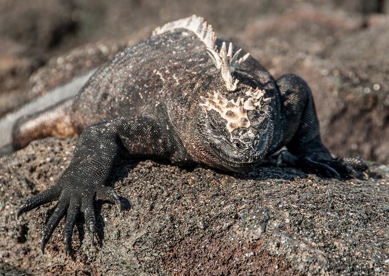 Fernandina, Espinoza Point - Marine iguana