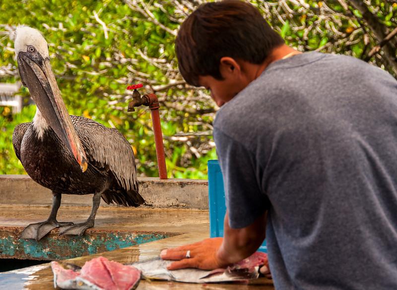 Santa Cruz & the town of Puerto Ayora - Pelican at Fish Market