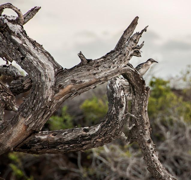 Bachas Beach - Galapagos mockingbird