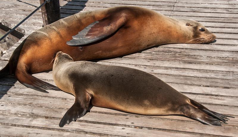 San Cristobal Island - Sea Lion Nursing on the dock in the town of Puerto Baquerizo Moreno