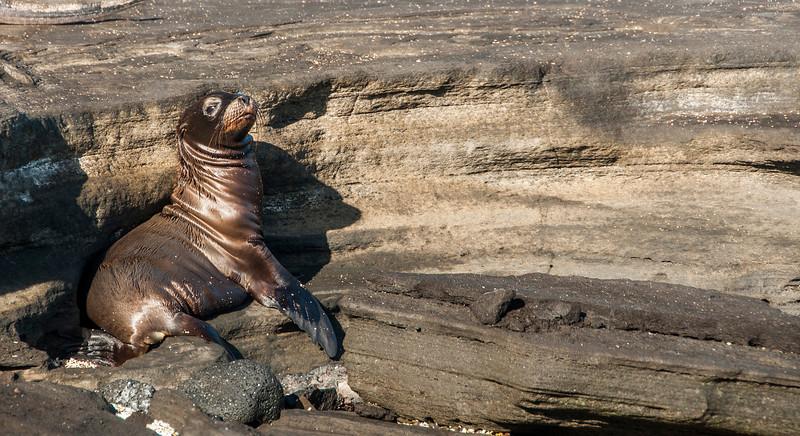 Santiago Island - Sea Lion