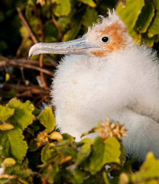 North Seymour Island - Juvenile Frigate Bird