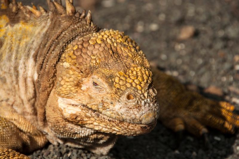 Isabella, Urbina Bay - Land iguana