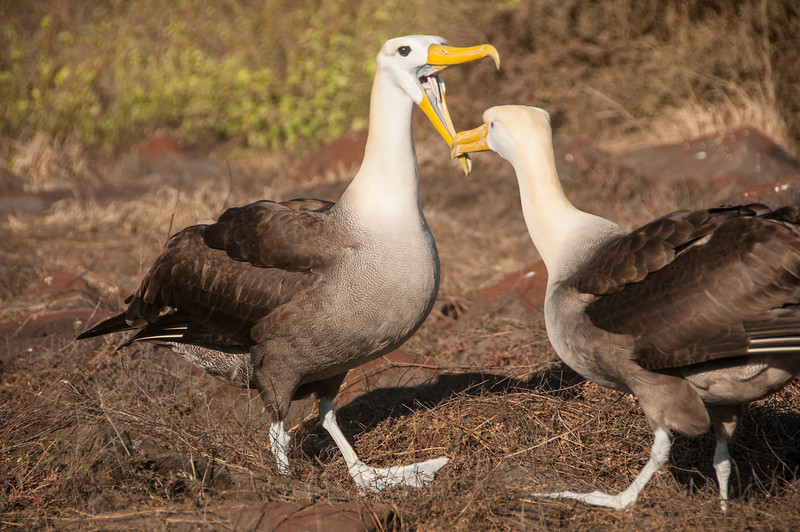 Espanola - Two female waved albatross performing dance mating ritual for male albatross