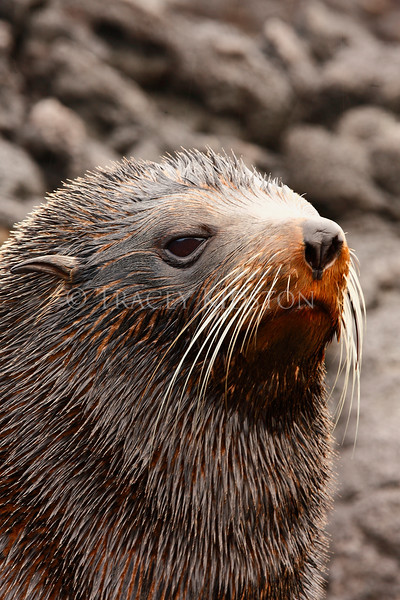 Galapagos Fur Seal (Arctocephalus galapagoensis)<br /> <br /> You may purchase a print or a digital download. If purchasing a digital download please look at the licensing agreement terms for personal or commercial use.