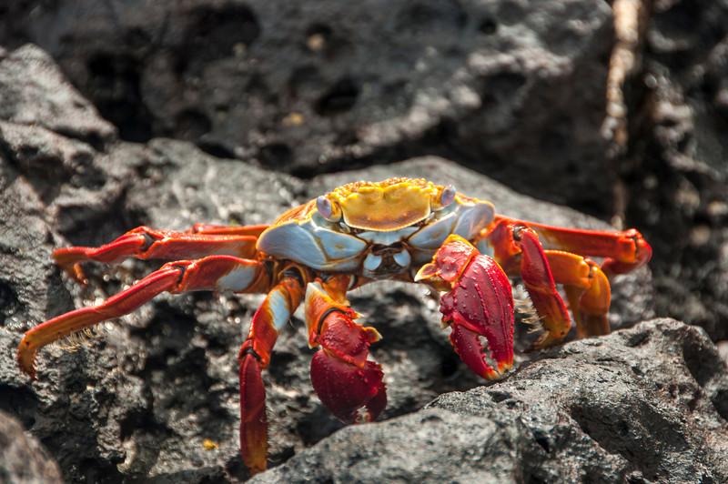 Bachas Beach & Sally Lightfoot crab