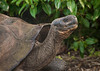 Day 5 Isabella, Urbina Bay in Galapagos Islands with giant tortoises