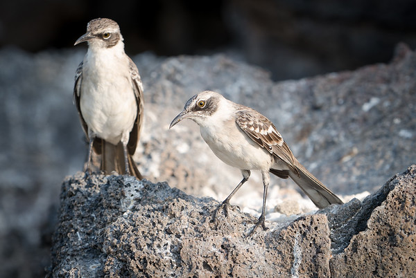 Galapagos mocking birds, one of several sub-species among the islands.