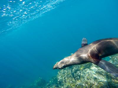 Galapagos sea lion (Zalophus wollebaeki)