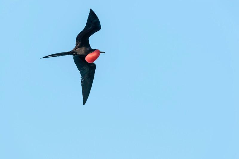 North Seymour Island - Male Frigate Bird