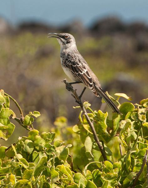 Espanola - Galapagos Mockingbird