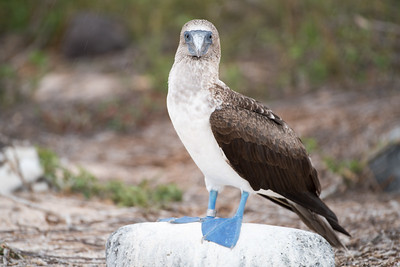 Blue-footed boobie.  Note the tagged ankle.