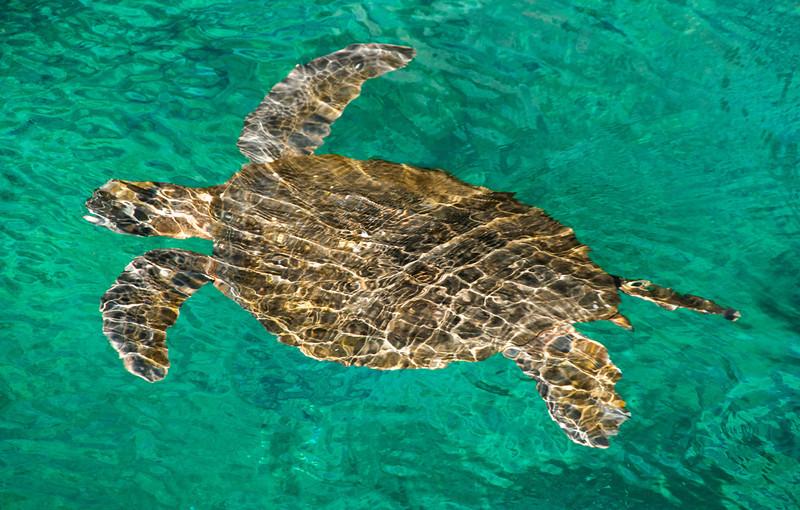 Santiago Island - Sea Turtle