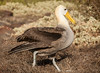 Espanola - Waved Albatross