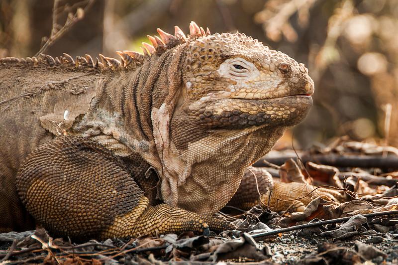Day 5 Isabella, Urbina Bay in Galapagos Islands with land iguana