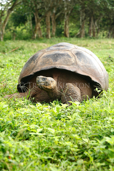 Galapagos Giant Tortoise (Geochelone nigra)<br /> <br /> You may purchase a print or a digital download. If purchasing a digital download please look at the licensing agreement terms for personal or commercial use.
