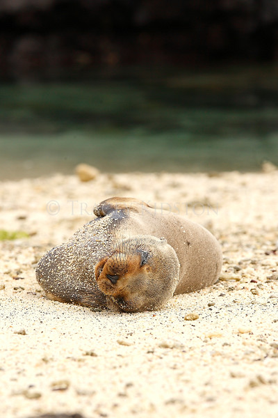 Galapagos Sea Lion (Zalophus wollebaeki)<br /> <br /> You may purchase a print or a digital download. If purchasing a digital download please look at the licensing agreement terms for personal or commercial use.