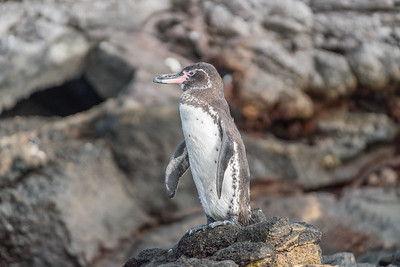 Galapagos penguin (Spheniscus mendiculu), the only penguin found north of the equator in the wild.