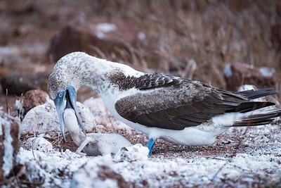 Blue-footed boobie gets food.