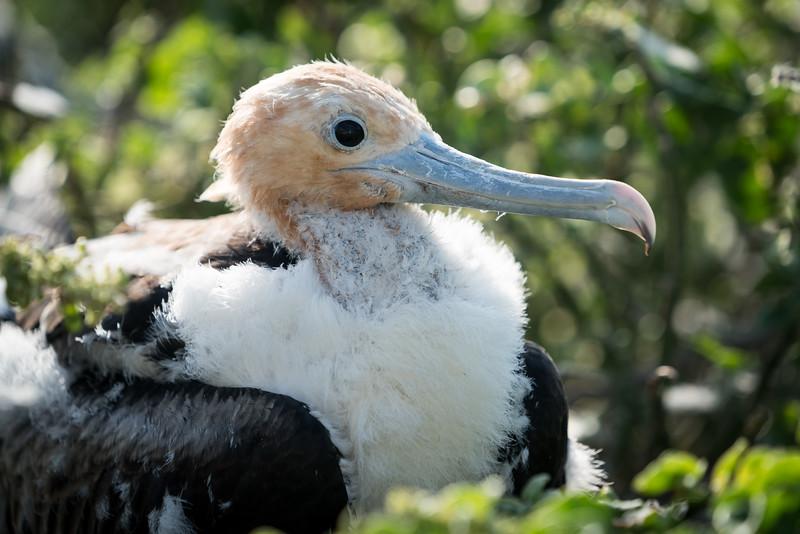 Frigatebird chick.