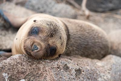 Galapagos sea lion pup.