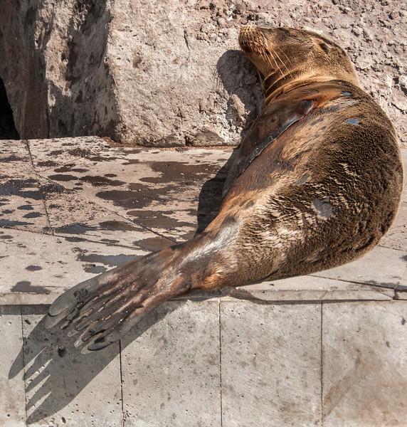San Cristobal Island -Sleeping Sea Lion in the town of Puerto Baquerizo Moreno