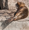 San Cristobal Island -Sleeping Sea Lion in the town of Puerto Baquerizo Moreno