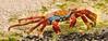 Floreana Island - Sally Lightfoot crabs