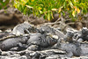 Marine Iguana (Amblyrhynchus cristatus)<br /> <br /> You may purchase a print or a digital download. If purchasing a digital download please look at the licensing agreement terms for personal or commercial use.