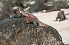 Espanola - Marine Iguana
