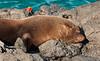 Santiago Island - Fur Seal