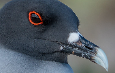 Swallow-tailed gull (Creagrus furcatus) - only nocturnal seabird in the world