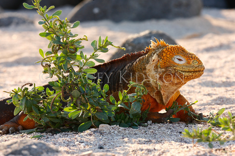 Galapagos Land Iguana (Conolophus subcristatus)<br /> <br /> You may purchase a print or a digital download. If purchasing a digital download please look at the licensing agreement terms for personal or commercial use.