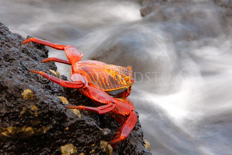 Sally Lightfoot Crab (Grapsus grapsus)<br /> <br /> You may purchase a print or a digital download. If purchasing a digital download please look at the licensing agreement terms for personal or commercial use.