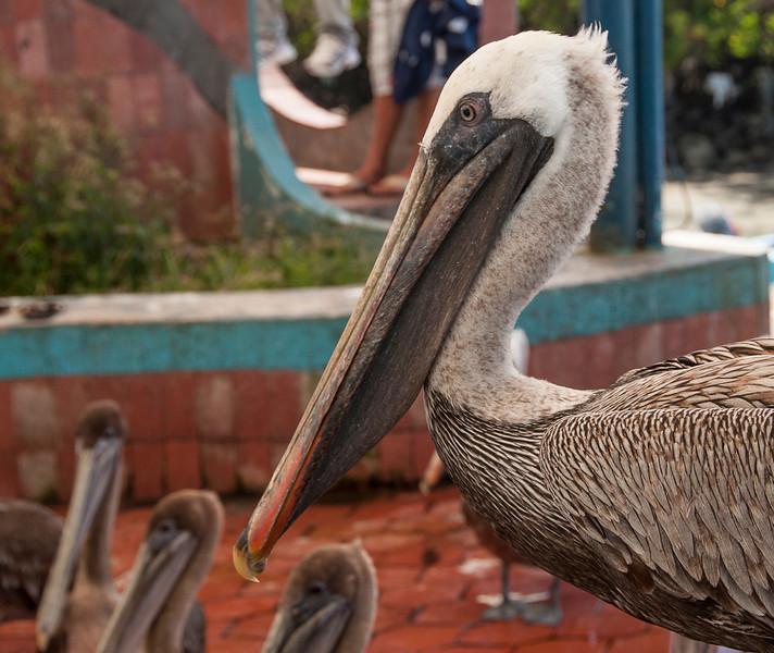 Santa Cruz & the town of Puerto Ayora - Pelicans