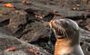 Fernandina, Espinoza - Sea lion and crabs