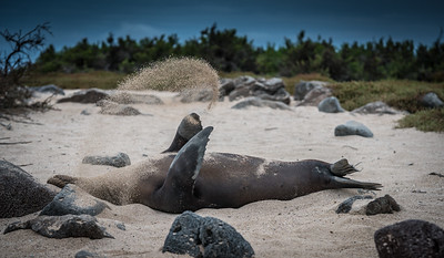 Sea lions in the Galapagos have an easy life, except when trying to avoid sharks.