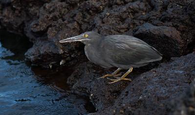 Lava heron, aka Galapagos heron (Butorides sundevalli)