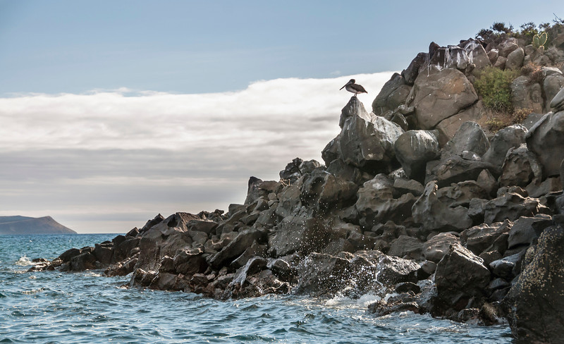 North Seymour Island - Brown pelican