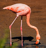 Santa Cruz, Dragon Hill - Flamingo